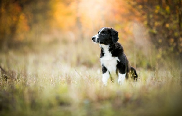 Picture autumn, forest, grass, look, nature, pose, Park, background, black and white, glade, dog, baby, puppy, …
