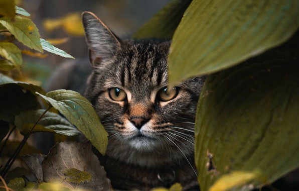 Picture animals, cat, leaves, macro, blur, animal, cats, look, pet, glance, muzzle, stare, hide, 4k ultra …