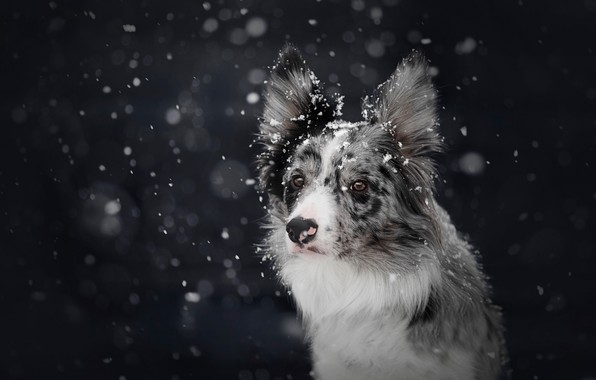 Picture winter, snow, the dark background, dog, snowfall, bokeh, the border collie