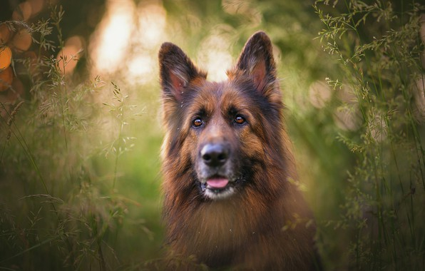 Picture language, grass, look, face, light, nature, green, background, stems, portrait, dog, spikelets, dog, German shepherd, …