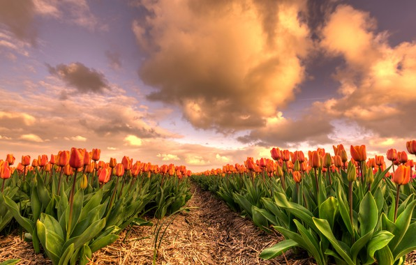 Picture field, the sky, leaves, clouds, flowers, beauty, spring, the evening, tulips, straw, the beds, Netherlands, …