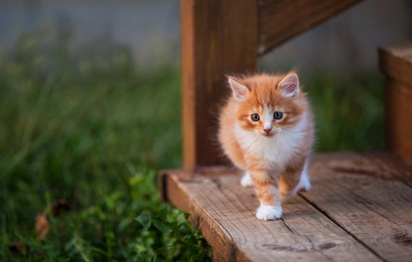 Picture cat, grass, look, pose, kitty, background, Board, baby, red, ladder, stage, kitty