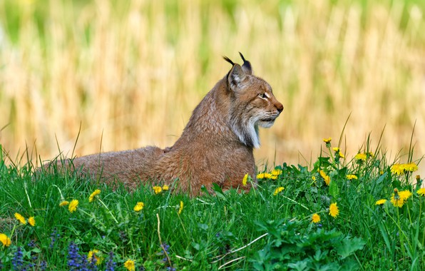 Picture greens, summer, grass, flowers, background, glade, spring, lies, profile, dandelions, lynx, wild cat