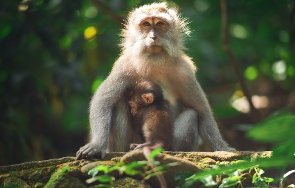 Picture branches, nature, Monkey, cub