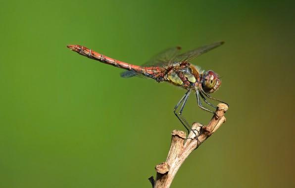Picture dragonfly, dragonfly-kamenushka, shebroke