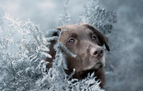 Picture look, face, dog, fern, Labrador Retriever