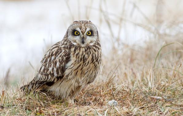 Picture grass, nature, owl, bird, bokeh