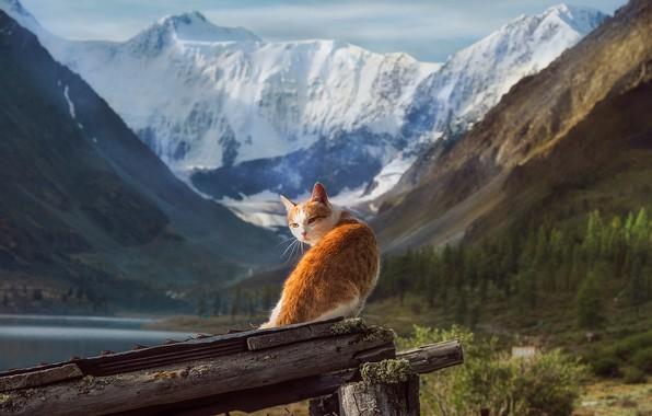 Picture cat, landscape, mountains, nature, animal, Altay, snow, Tamara Andreeva