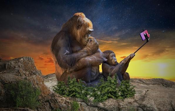Picture gorilla, smartphone, selfie