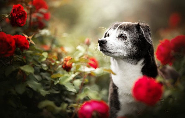 Picture face, flowers, roses, dog, bokeh