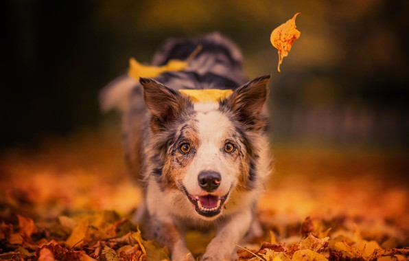 Picture autumn, look, face, leaves, joy, mood, dog, bokeh