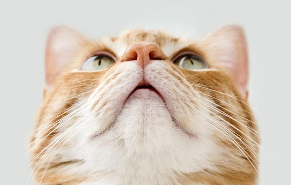 Picture cat, cat, red, muzzle, light background, cat