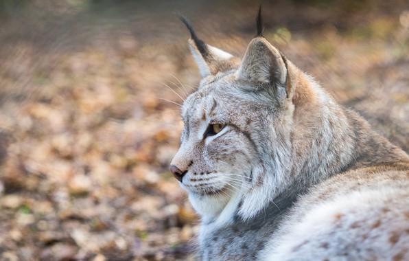 Picture look, face, portrait, profile, lynx, wild cat