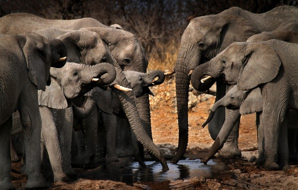 Picture Africa, elephants, drink
