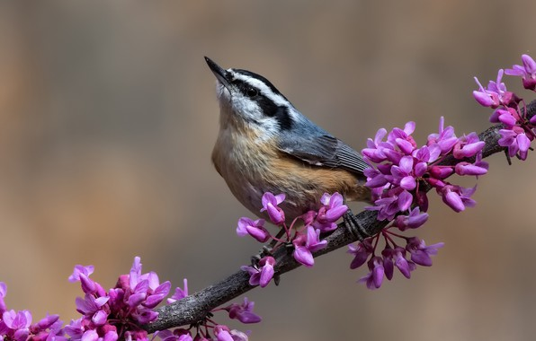 Picture bird, branch, flowers, nuthatch