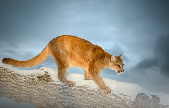 Picture snow, background, log, wild cat, Puma, Cougar