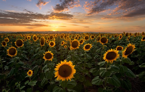 Picture field, the sky, the sun, clouds, sunflowers, sunset, the evening