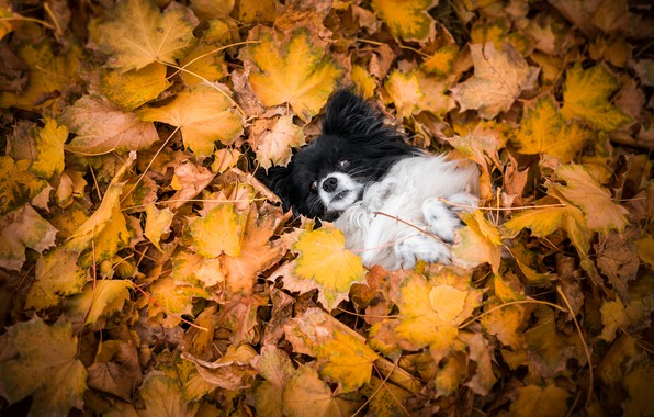 Picture autumn, nature, pose, foliage, dog, lies, face, dog, the pile of leaves, Papillon, Papillon