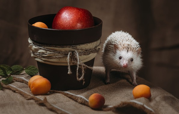 Picture white, look, needles, pose, background, apples, rope, fabric, pot, animal, hedgehog, fruit, still life, face, …