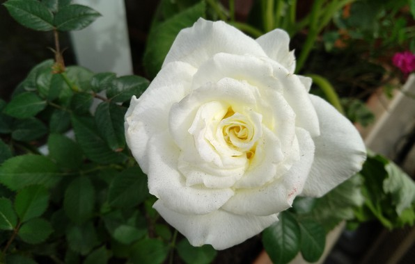 Picture Rose, Rose, White rose, White rose