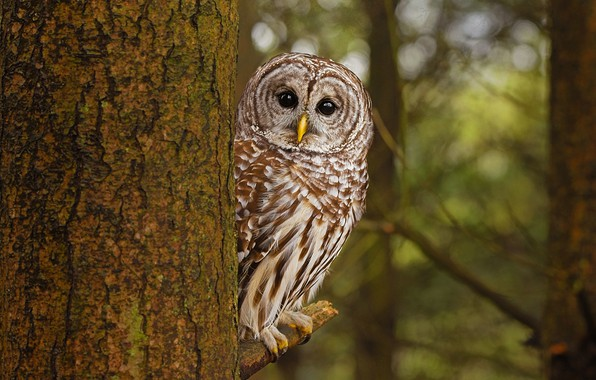 Picture forest, look, branches, tree, owl, bird, trunk, bark, bokeh, owl