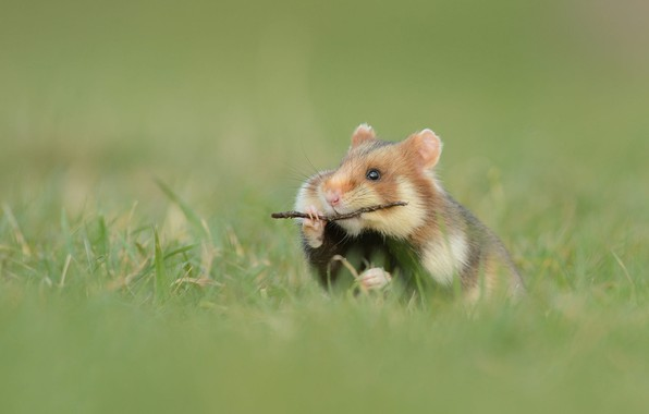 Picture grass, sprig, hamster, rodent
