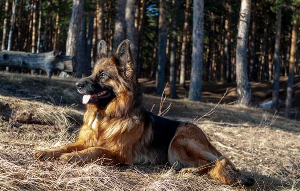 Picture dog, German shepherd, shepherd, longhair, Norway de Zauber Hof