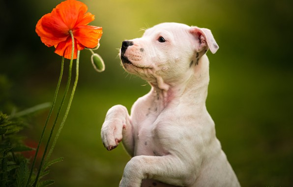 Picture flower, background, Mac, dog, paws, puppy, stand, doggie, Staffordshire bull Terrier