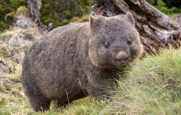 Picture cute, thick, wombat