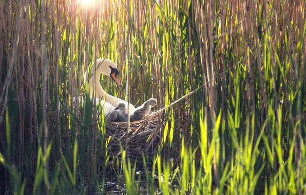 Picture birds, reed, swans