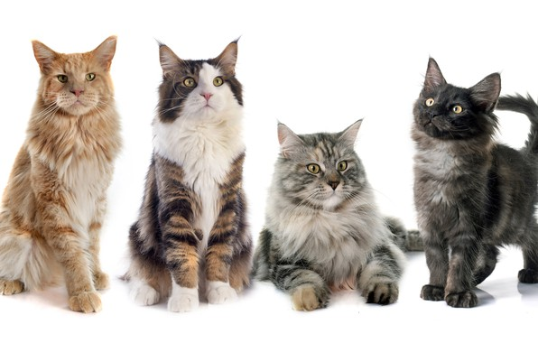 Picture cats, cats, white background