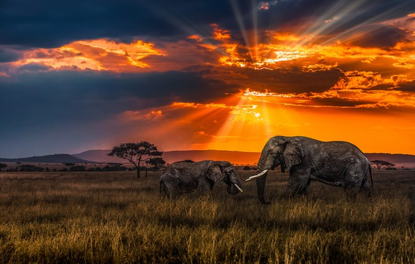 Picture sunset, Savannah, elephants