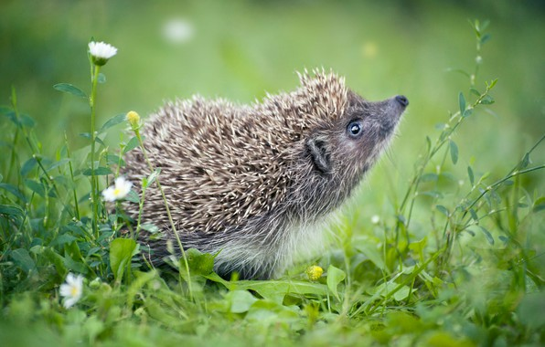 Picture greens, summer, grass, look, flowers, needles, pose, green, background, glade, chamomile, muzzle, animal, hedgehog, walk, …