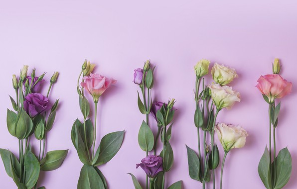 Picture flowers, background, pink, flowers, purple, eustoma, eustoma