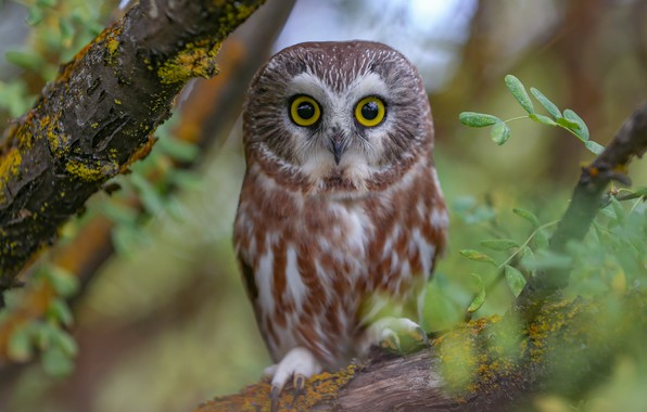 Picture branches, owl, bird, North American boreal owl