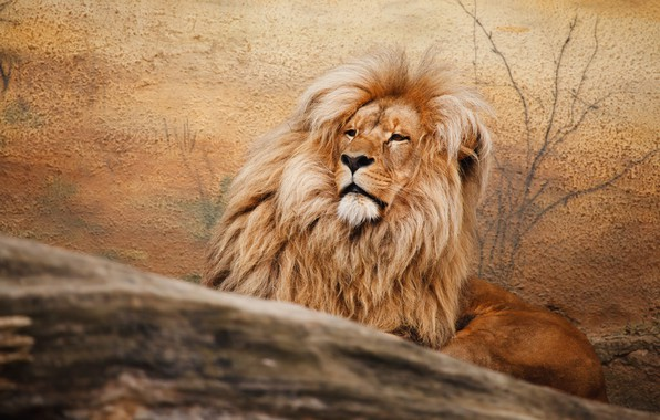 Picture face, branches, pose, background, wall, portrait, treatment, Leo, mane, the king of beasts, lies, wild …