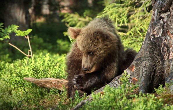 Picture forest, look, face, nature, pose, baby, bear, bear, sitting, brown