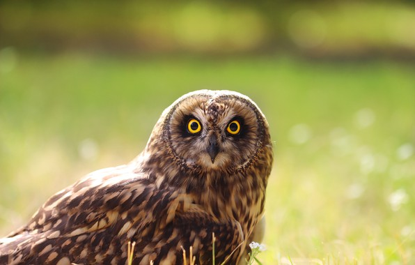 Picture look, background, owl, bird