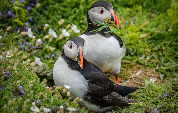 Picture summer, grass, flowers, birds, sprig, background, two, pair, stalled, Atlantic puffin, stubs