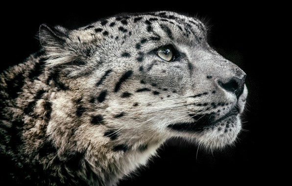 Picture portrait, profile, snow leopard
