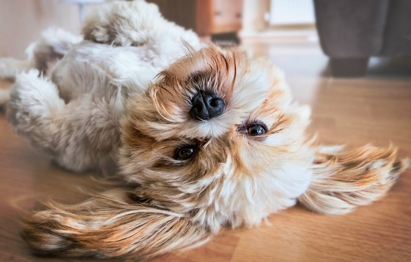 Picture puppy, dog, cute, japanese, lhasa apso