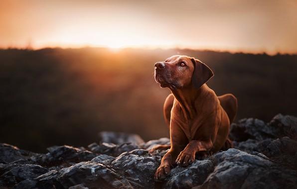 Picture sunset, stones, portrait, dog, Rhodesian Ridgeback