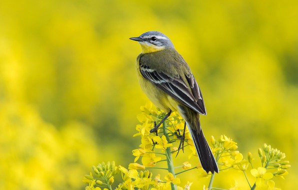 Picture nature, bird, Yellow Wagtail, Western Yellow Wagtail
