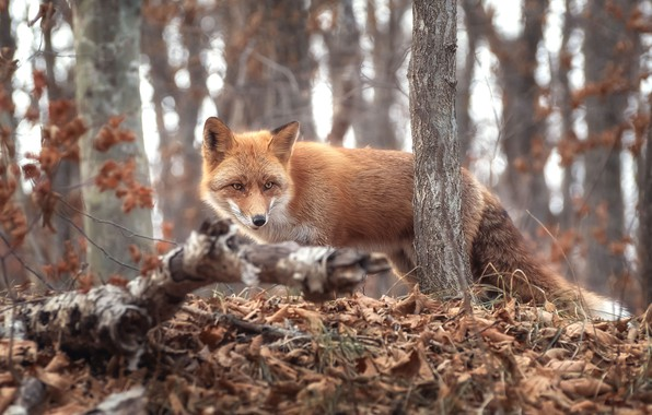 Picture autumn, forest, grass, trees, branches, nature, animal, foliage, Fox, Fox