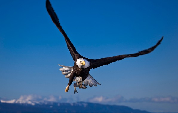 Picture bird, wings, bald eagle