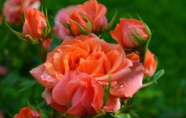 Picture Buds, Roses, Roses, Orange roses, Orange roses