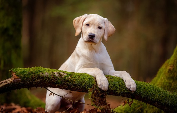 Picture forest, white, look, nature, pose, background, moss, dog, paws, baby, cute, puppy, snag, Labrador, stand, …