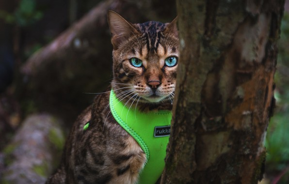 Picture cat, cat, look, nature, the dark background, tree, portrait, costume, bark, blue eyes