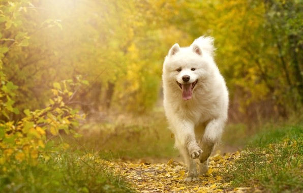 Picture autumn, forest, language, white, leaves, branches, nature, Park, background, foliage, dog, running, puppy, white, walk, …