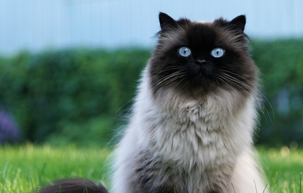Picture cat, cat, look, nature, green, background, blue, portrait, muzzle, blue-eyed, fluffy, Siamese, big eyes, full …